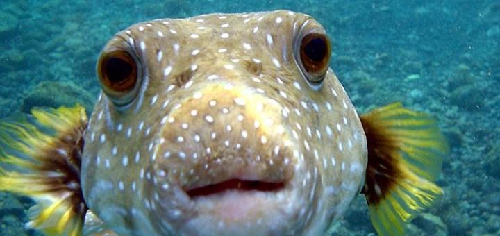 Puffer Fish / Fugu