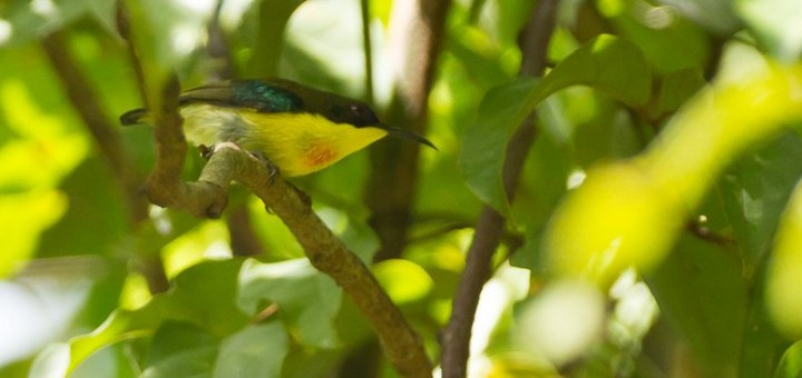 Sunbird - Aethopyga pulcherrima