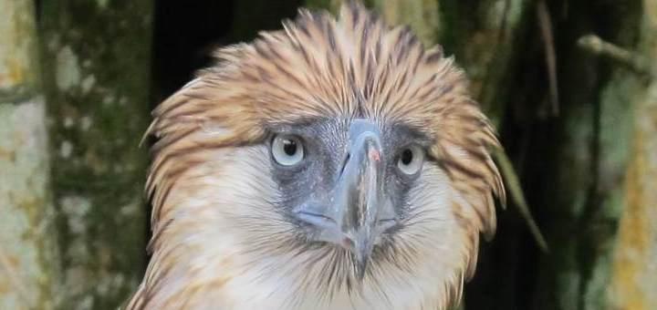 Philippine Eagle in Davao