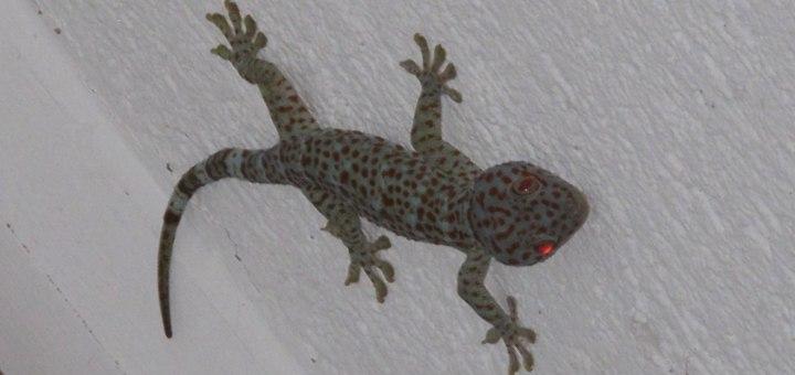 Camiguin Gecko