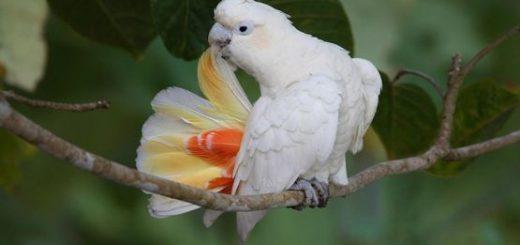 Philippine Cockatoos - Katala
